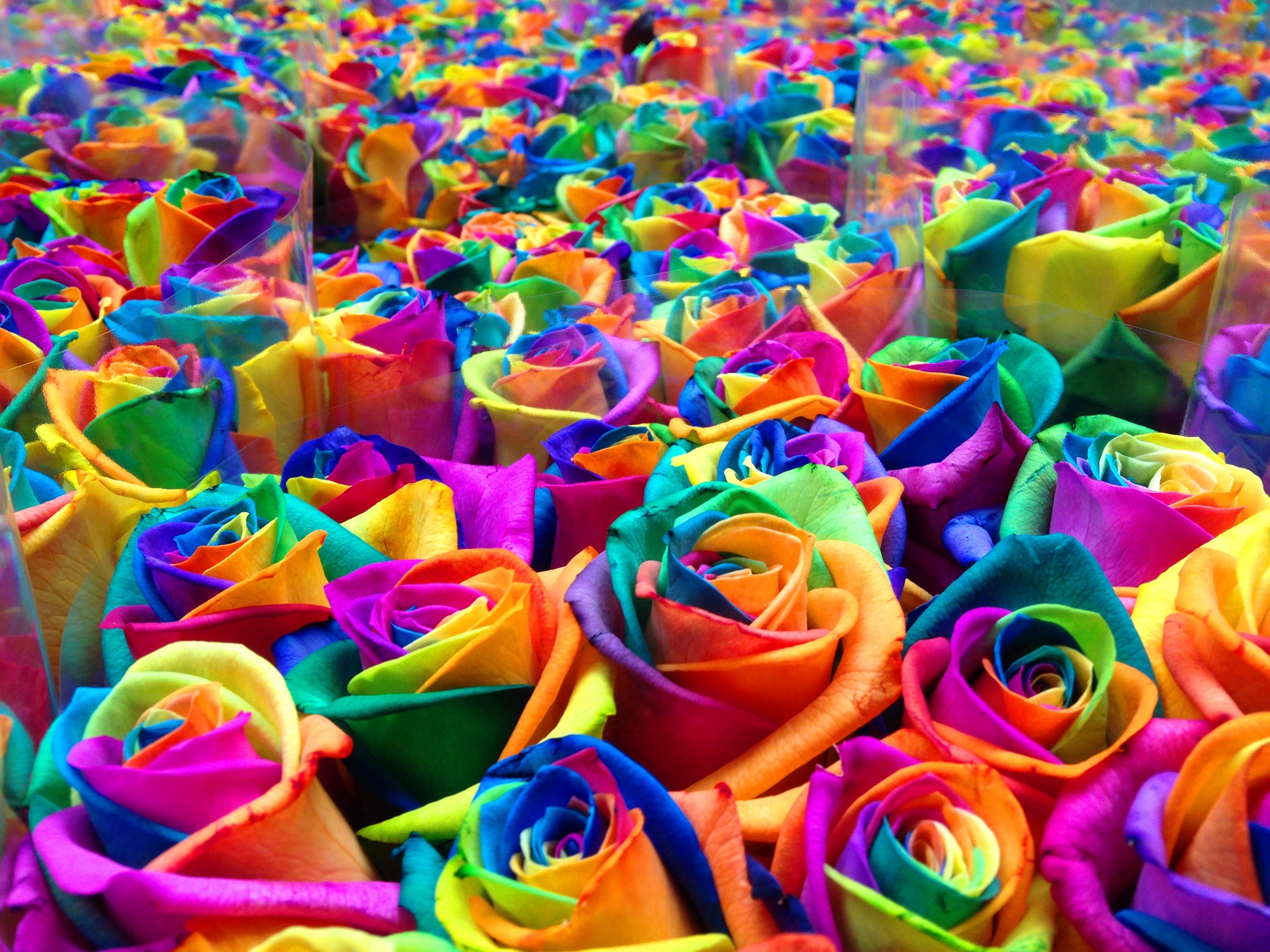 Geverfde rozen rodewijk rozen - Kleur idee voor het leven ...
